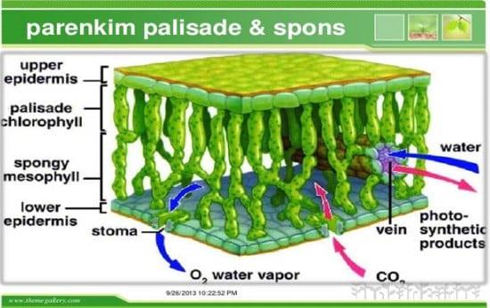 √Jaringan tumbuhan : meristem, permanen dan Penyongkong