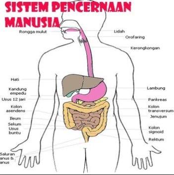 Sistem-Pencernaan-Manusia