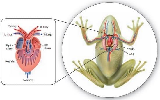 √Sistem Peredaran Darah Pada hewan : Terbuka dan Tertutup