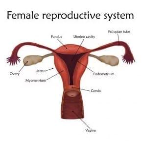 √ Alat Reproduksi Wanita dan Fungsinya : Bagian Luat, Mons Pubis, Labia