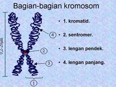 Apa itu Kromosom