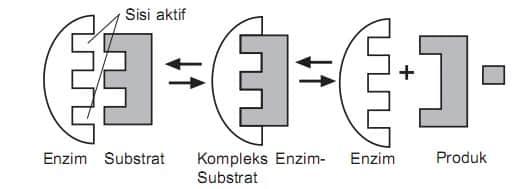 √ Cara Kerja Enzim : Pengertian, Mekanisme dan Teori