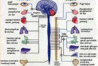 Sistem Saraf Pada Manusia : Pengertian, Bagian dan Fungsi