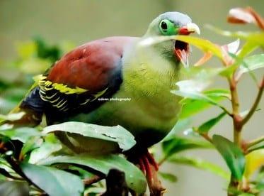√ Burung Punai : Asal-Usul Dan Makna Ceritanya