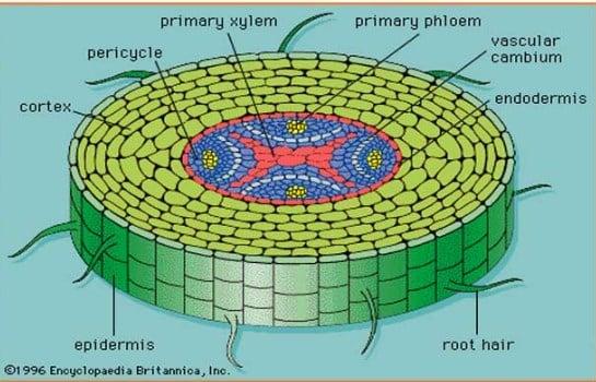 √ Fungsi Jaringa Epidermis : Pengertian, Ciri dan Bentuknya