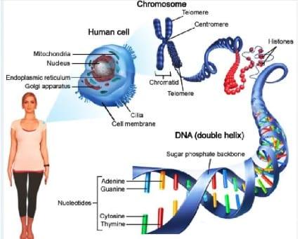 √ Pengertian Kromosom Manusia : Struktur, Jenis, Jumlah dan Fugsinya