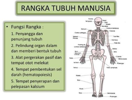 Fungsi Rangka