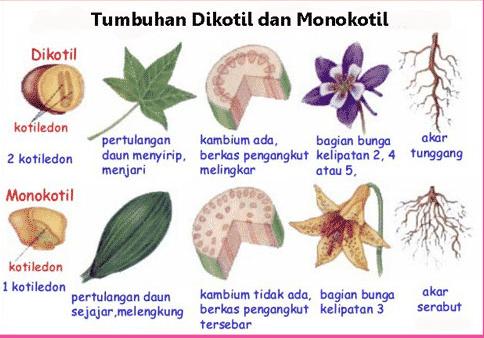 √10 Contoh Tanaman Monokotil Dan Dikotil