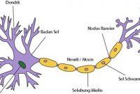 √ Fungsi Jaringan Saraf : Pengertian, Struktur dan Jenisnya