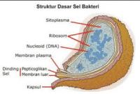 Apa Itu Bakteri