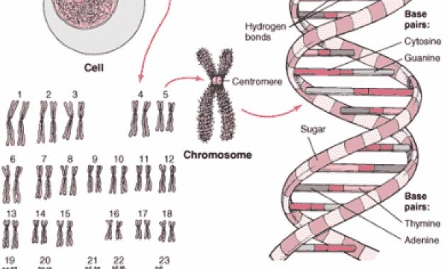 √Apa itu Gen: Pengertian, Fungsi, Sifat, Struktur, Proses