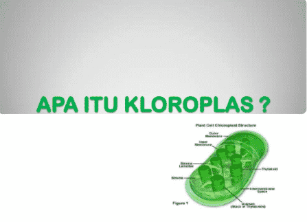 Apa Itu Kloroplas
