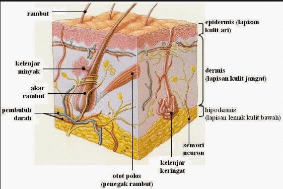 fungsi kulit