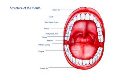 Bagian-Mulut