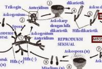 √Ascomycota: Pengertian, Struktur, Cara Reproduksi dan Contoh