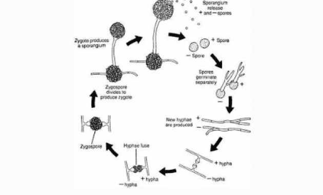 √Deuteromycota: Pengertian, Ciri, Reproduksi, Siklus dan Contohnya