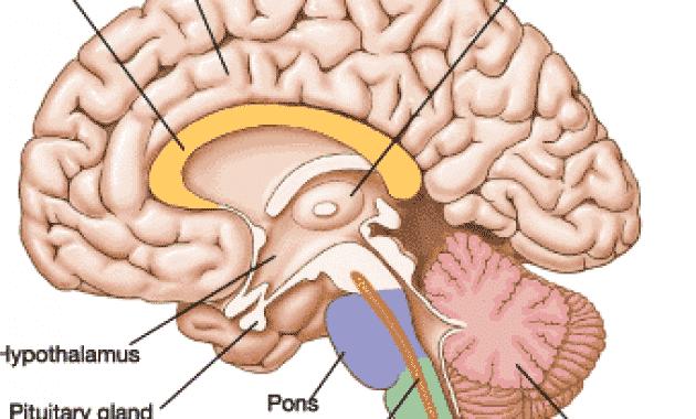 √Batang Otak: Pengertian, Fungsi dan Strukturnya