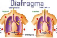 Diafragma Pernapasan