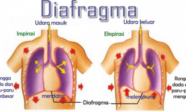 √Diafragma Pernapasan: Pengertian, Fungsi, Struktur, Cara