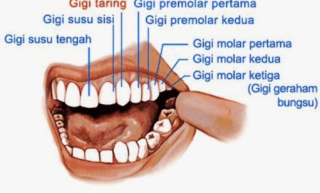 √Gigi: Pengertian, Bagian, Jenis dan Strukturnya