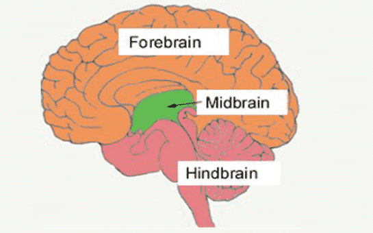 Otak Tengah