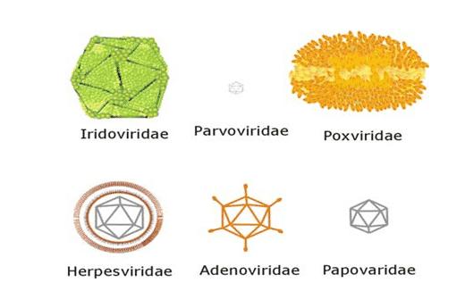 bentuk virus