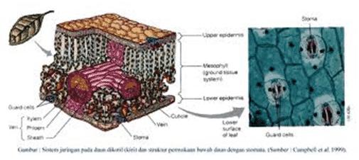 daun diotil