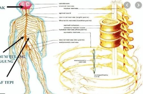 saraf manusia