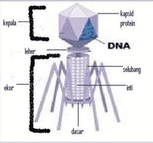 susunan virus