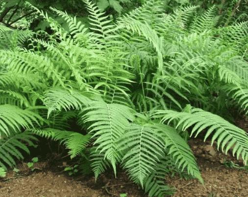 contoh tanaman paku
