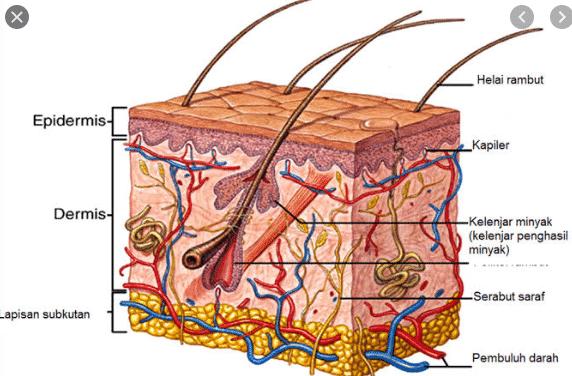 gambar kulit