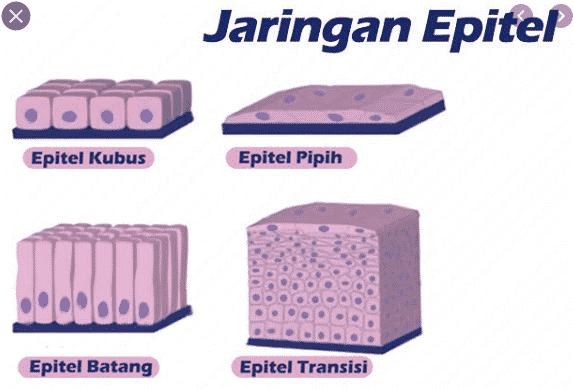 gambar jaringan epitel