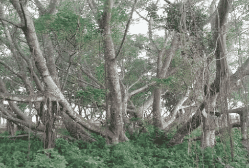 pohon cinta pulau kemaro