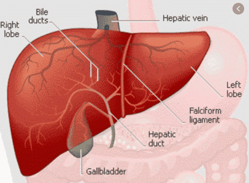 Hati Pengertian Fungsi Struktur Letak Faktor Gangguan