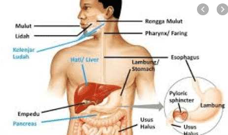 gambar sistem pencernaan