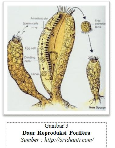 reproduksi porifera
