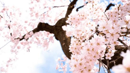 Bunga Cherry Blossom ( Sakura )