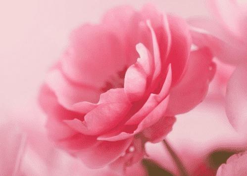 Bunga Rose Pink