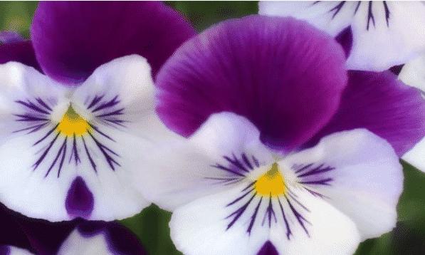 Bunga Viola