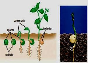 akar tumbuhan dikotil