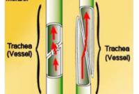 gambar jaringan xilem