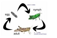 betamorfosis belalang