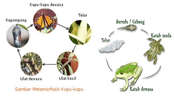 meamorfosis kupu-kupu