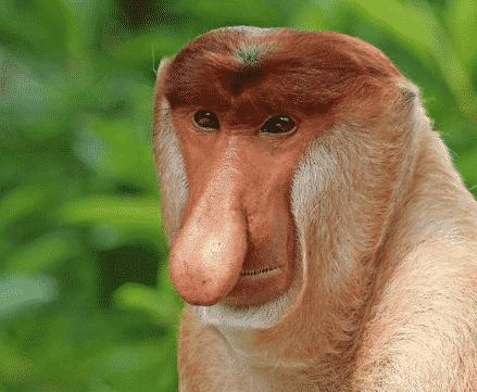 monyet daba