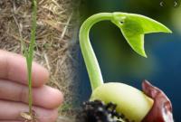 gambar tumbuhan dikotil