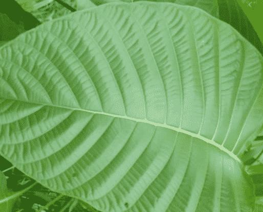 daun menyidip