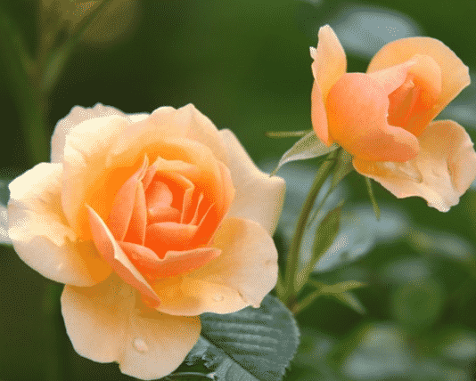 Bunga Sempurna