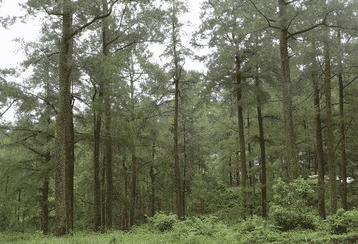Pohon Pinus dan Tumbuhan di Sekitarnya