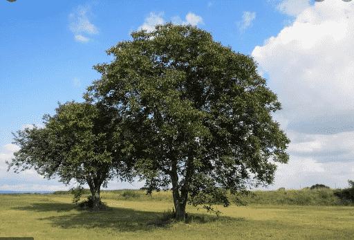 Pohon Walnut dan Tumbuhan di Sekitarnya